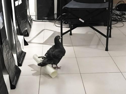 piccioneviaggiatore_07